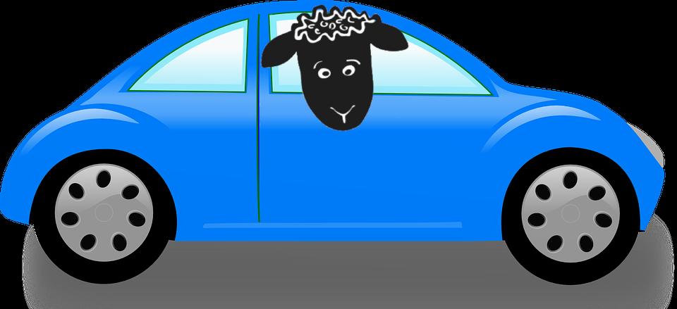 sheep-car-contact